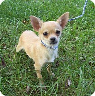 Chihuahua Dog for adoption in Sunset Hills, Missouri - Duffy