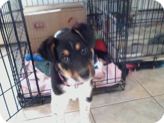 Border Collie Mix Puppy for adoption in New Oxford, Pennsylvania - Cali