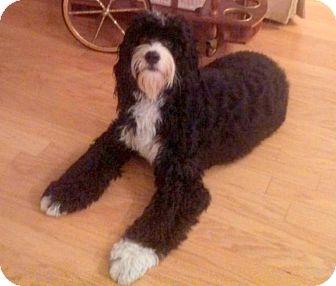 Poodle (Standard)/Springer Spaniel Mix Dog for adoption in Boca Raton, Florida - FL - Bentley