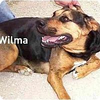 Adopt A Pet :: WILMA(URGENT) - Miami Beach, FL