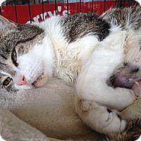 Adopt A Pet :: Darcy - East Hanover, NJ