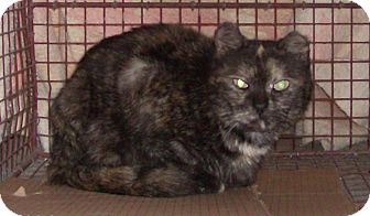 Domestic Shorthair Cat for adoption in Cut Bank, Montana - Snickers