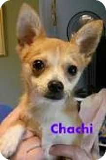 Chihuahua Dog for adoption in House Springs, Missouri - Chachi