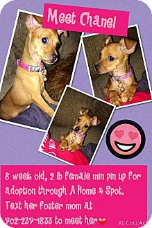 Miniature Pinscher Mix Puppy for adoption in Las Vegas, Nevada - Chanel