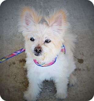 Pomeranian Mix Dog for adoption in Wilmington, North Carolina - Bella