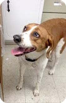 Hound (Unknown Type) Mix Dog for adoption in Darlington, South Carolina - Angel