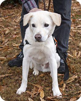 Labrador Retriever Mix Dog for adoption in Cumming, Georgia - Kennedy