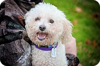 Bichon Frise Dog for adoption in Sheridan, Oregon - Conner