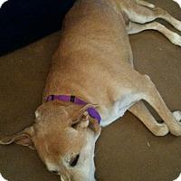 Adopt A Pet :: Kira - Chandler, AZ