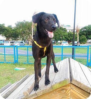 Labrador Retriever/Beagle Mix Puppy for adoption in orange, California - Charlotte