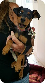 Miniature Pinscher Mix Puppy for adoption in Freeport, New York - Molly