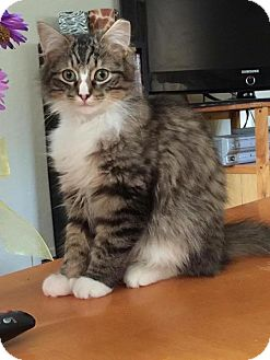 Maine Coon Cat for adoption in Breinigsville, Pennsylvania - Gizmo