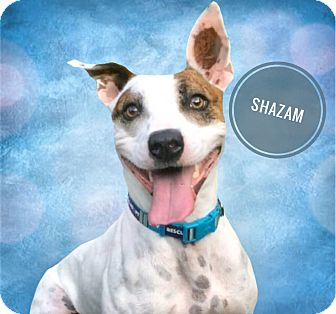Boxer/Terrier (Unknown Type, Medium) Mix Dog for adoption in Lakeland, Tennessee - Shazam!