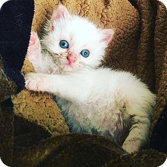 Siamese Kitten for adoption in Athens, Georgia - Casper