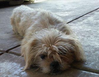 Shih Tzu Mix Dog for adoption in cupertino, California - Lee