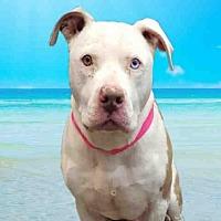 Adopt A Pet :: BOGART - Fairfield, CA