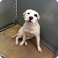 American Bulldog Mix Dog for adoption in Beverly Hills, California - Derrick