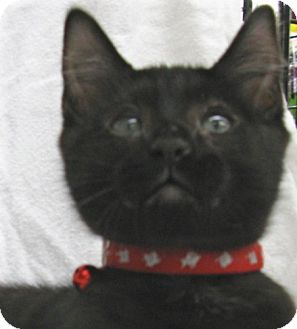 Domestic Shorthair Kitten for adoption in Antioch, California - Paxton