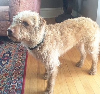 Italian Spinone Mix Dog for adoption in Hot Springs, Virginia - Caesar
