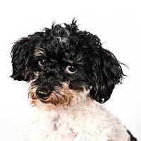 Adopt A Pet :: Caleb - St. Louis Park, MN