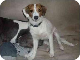 Springer Spaniel/Beagle Mix Dog for adoption in Avon, New York - Clyde