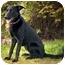 Photo 2 - Labrador Retriever/Husky Mix Puppy for adoption in Ile-Perrot, Quebec - NAYA