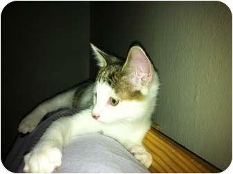 American Shorthair Kitten for adoption in New York, New York - Logan