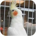 Cockatiel for adoption in Wheaton, Illinois - Snowflake