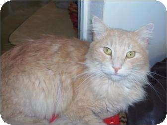 Domestic Mediumhair Cat for adoption in El Cajon, California - Nick