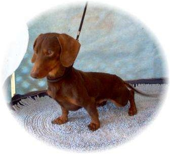 Dachshund Dog for adoption in Tucson, Arizona - Cheech