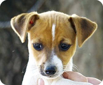 Fox Terrier (Smooth)/Jack Russell Terrier Mix Puppy for adoption in Bulverde, Texas - Don -2