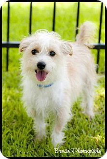 Jack Russell Terrier/Maltese Mix Dog for adoption in Houston, Texas - Rascal