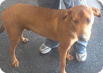 Labrador Retriever/German Shepherd Dog Mix Dog for adoption in Bedford, Texas - George