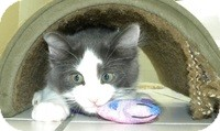 Domestic Mediumhair Kitten for adoption in Tampa, Florida - Cody