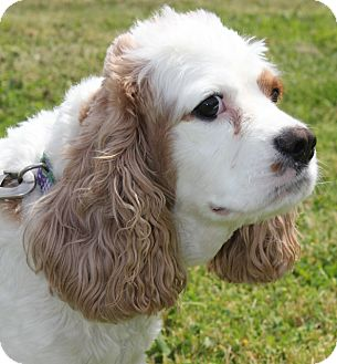 Cocker Spaniel Mix Dog for adoption in Grants Pass, Oregon - Nelson