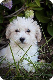 Poodle (Miniature) Mix Puppy for adoption in Auburn, California - Macho Man Randy Savage
