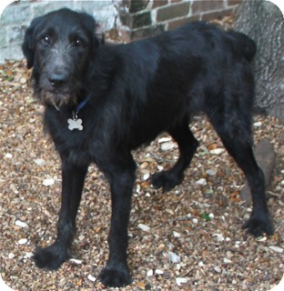 Irish Wolfhound/Labrador Retriever Mix Dog for adoption in Norwalk, Connecticut - Boston -loves to swim! cats ok