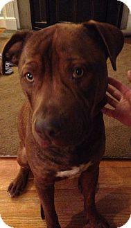 Labrador Retriever/American Staffordshire Terrier Mix Dog for adoption in Chesterfield, Michigan - Bruno-COURTESY POST