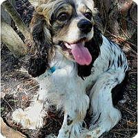 Adopt A Pet :: Darla - Sugarland, TX
