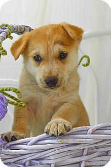 Husky/Shepherd (Unknown Type) Mix Puppy for adoption in Lincoln, Nebraska - PEBBLES