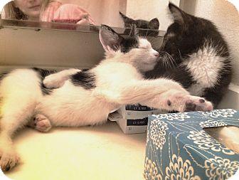 Domestic Shorthair Kitten for adoption in Chicago, Illinois - Manju