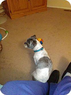 Shih Tzu Mix Dog for adoption in Urbana, Ohio - Grant