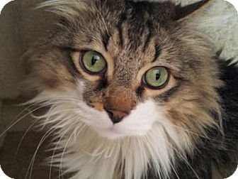 Domestic Longhair Cat for adoption in Mountain Center, California - Zion