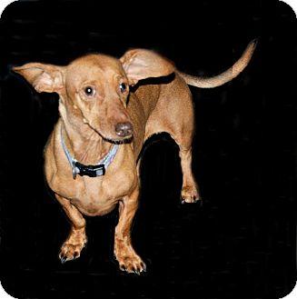 Dachshund Mix Dog for adoption in Lufkin, Texas - Daisy