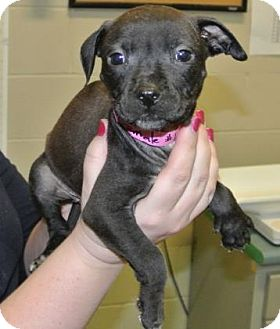 Boston Terrier/American Staffordshire Terrier Mix Puppy for adoption in Redmond, Oregon - Bella