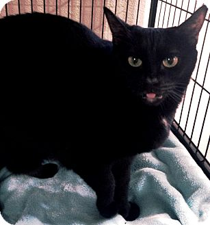Domestic Shorthair Cat for adoption in Boca Raton, Florida - Lola
