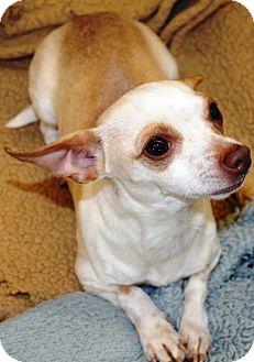 Chihuahua Mix Dog for adoption in Kalamazoo, Michigan - Sebastian