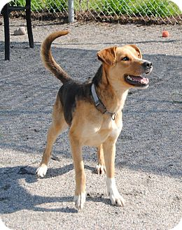 Shepherd (Unknown Type) Mix Dog for adoption in Windsor, Virginia - Clover