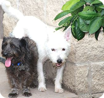 Schnauzer (Miniature)/Terrier (Unknown Type, Small) Mix Dog for adoption in Allentown, Pennsylvania - Pepper & Jellybean