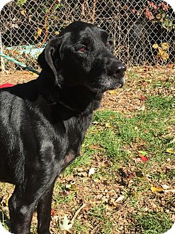 Labrador Retriever Mix Dog for adoption in South Park, Pennsylvania - Petula